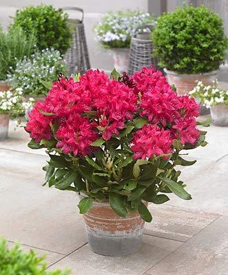 HONIC 200Pcs Rhododendron Sims Azalea Bonsai Piante perenni Coperta Fiore in Fiore Bonsai pianta in Vaso per Piante da Fiore Giardino di casa: 1