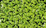 Duckweed (Lemna Minor) - 100/200/500 Live Plants (200) by Aqua Habit