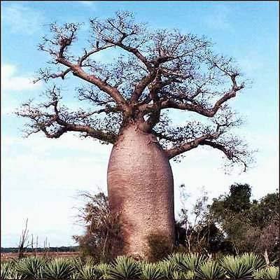 25 graines Adansonia digitata BAOBAB DEAD TREE RAT