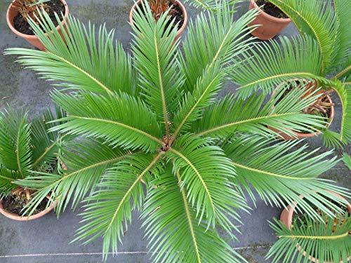 M Palmfarn 35-55 cm, Cycas Revoluta Sagopalme Palme, innen + außen