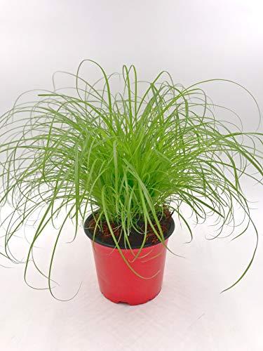 Katzengras Cyperus zumula Futter Pflanze für Ihren Stubentiger 1stk.