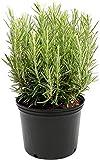 Romero Planta Aromática de Interior y Exterior Altura 30cm Planta para Cocinar Planta Natural