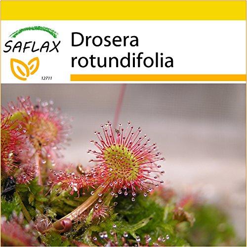 SAFLAX - Anzucht Set - Rundblättriger Sonnentau - 50 Samen - Mit Mini-Gewächshaus, Anzuchtsubstrat und 2 Töpfen - Drosera rotundifolia