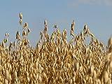 5 lb Whole Oat Seeds, Wildlife, Deer, Food Plot Forage