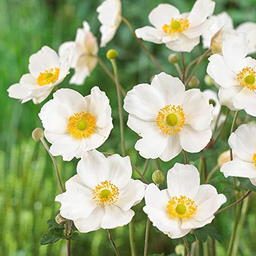 2x Anemone hybride