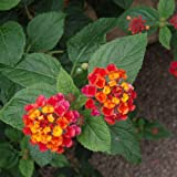 Genuine Plant World Seeds branded packets supplied direct from Plant World Seeds UK Common Name: Lantana Camara hybrids, Shrub Verbena, Yellow Sage, Angel Lips, Spanish Flag, or West Indian Lantana Height: 60cm-1.2m Also known as Angel Lips, Spanish ...
