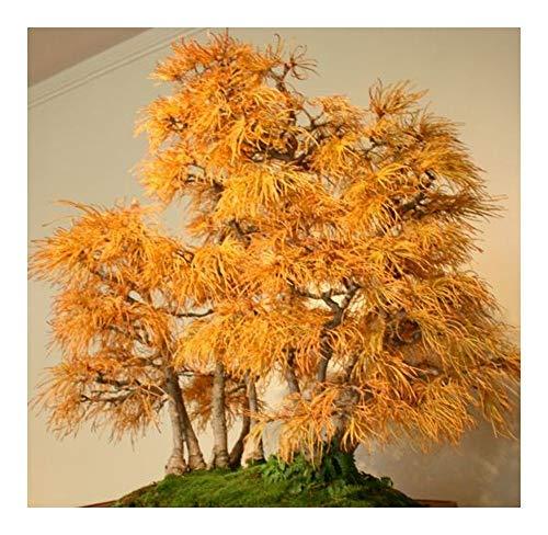Pseudolarix amabilis - Mélèze doré - bonsaï - 10 graines