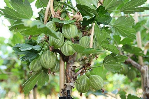 Mucurines Stachelbeere, Stachelbeerstrauch, Hochstamm, Ribes uva crispa, Beerenobst winterhart, grün, im Topf, 120 cm