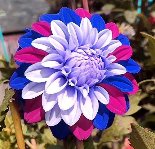 3g Rare Blue and White Point Dahlia Seeds Beautiful Perennial Flowers Plants Dahlia for DIY Home Garden Bonsai Seeds