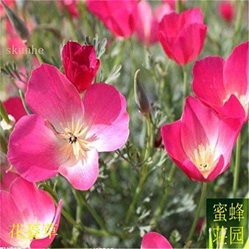 Vente d'été réguliers embellissant exclus limité dans le temps Tempéré Balcon Petit Mini semences Importations Jinye graines de ginseng 100 3