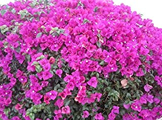 Bougainvillea Flower - Sale 200pcs/bag Bougainvillea Potted Flower Variety Complete The Budding Rate 95% (Mixed Colors)