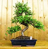 Perfect Bonsai Tree for Beginners to Intermediate. Being a semi indoor bonsai plant, You can keep this near the balcony or window or in the garden. Symbol of Peace and Intelligence: A beautiful bonsai plant for home which signifies peace, intelligenc...