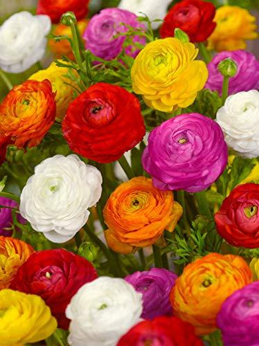 30x Ranunkul Mischung - BULBi® Holland blumenzwiebeln - Ranunculus asiaticus - Blütezeit: Juni - August. Standort: sonnig schattig. Wuchs: ca.40cm