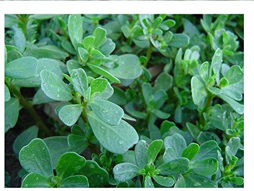 20 graines semences légumes pourpier vert pousse rapidement herbe aromatique