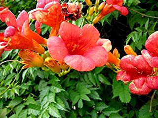 20 Seeds - Rare Dark Red Hummingbird Trumpet Vine