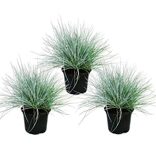Blauschwingel-Gras - Festuca glauca - 9cm Topf 3 Pflanzen