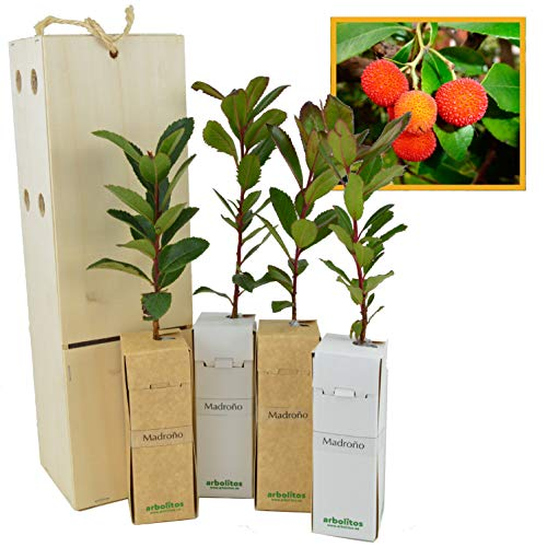 MADROÑO arbolito de pequeño tamaño en caja de madera. Alveolo forestal del arbusto madroño (4)