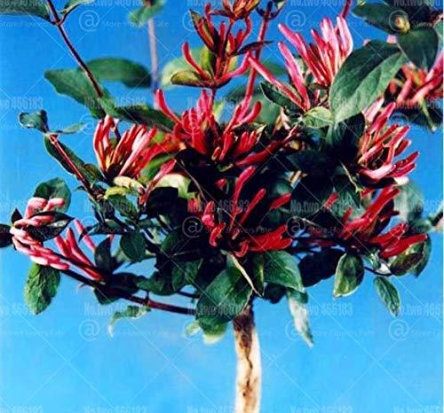 100pcs japanische Geißblatt Lonicera Japonica Bonsai Kraut plantas Staude sehr aromatisch Blumentopf Gartenblume seedsplants: 1