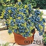 100 pezzi blueberry bonsai albero di frutta highbush mirtilli fai da te countyard bonsai piante piantina per la casa e giardino facile da coltivare: 18