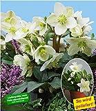 BALDUR-Garten Weiße Christrose, blühend im Topf