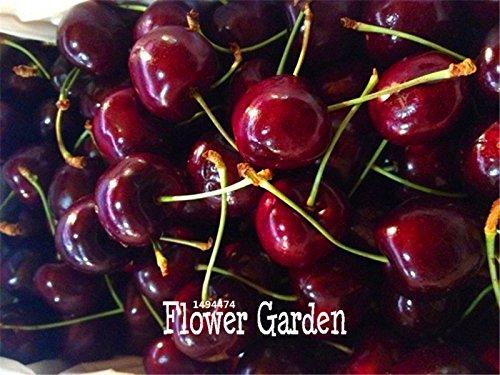 Promotion! Direct US Cerises semences de graines de cerisier cerisier nain de graines de fruits Sud sementes da fruta, 5 graines / Sac, # UTHUZB
