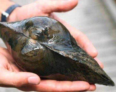 Teichmuscheln, 10 st + 1 x NH TOXEX Ball - Wunderwaffe gegen Schwebe Algen im Teich - Natürlicher Biofilter im Gartenteich