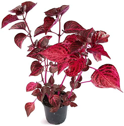 Fangblatt - Iresine herbstii - das Blutblatt mit roten und purpurfarbenen Blättern - pflegeleichte Zimmerpflanze für einen sonnigen Fensterplatz in der Wohnung, Balkon oder Terrasse