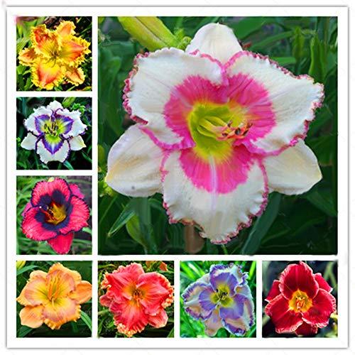 TENGGO Egrow 50 Teile/Paket Taglilie Samen Taglilie Blumen Hemerocallis Lily Indoor Bonsai Blume Mehrjährige Pflanze für DIY Hausgarten Liefert