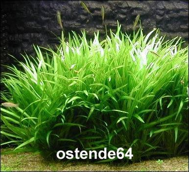 WFW wasserflora Grasartige Zwergschwertpflanze/Echinodorus latifolius im Topf