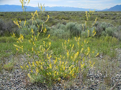 Asklepios-seeds® - 2000 Samen Echter Gelber Steinklee Melilotus officinalis Heilpflanze