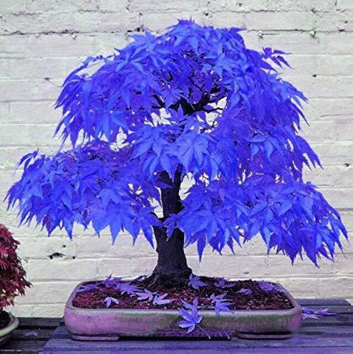 HONIC Lila Ahorn Bonsai Rare Sky Blue Maple Balkon Pflanzen für Innen Baum Hausgarten-Dekoration Sehr schön: 20 Stück blau