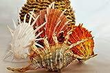 tl tongling conchiglie natural conch shell gorgeous combinazione della casa decorazione domestica fai da te fish serbatoio landscaping shell harmbals party (color : light grey, size : gratuito)