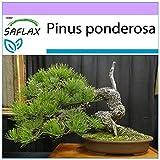 SAFLAX - Pino amarillo occidental - 20 semillas - Pinus ponderosa