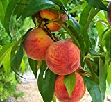 Pixies Gardens (5 Gallon Loring Peach Tree- Self Pollinating Pink and White Fragrant Bloom Yellow...