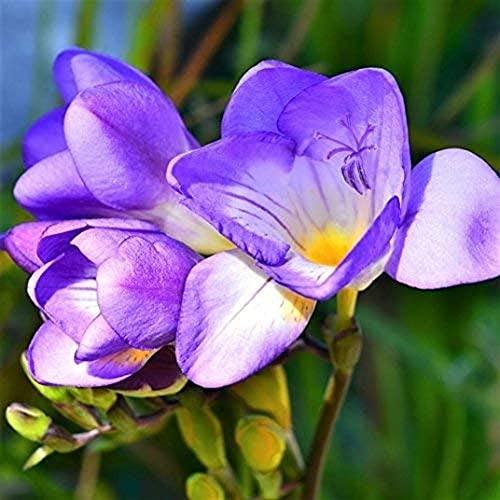 5 Stücke Freesie Einzelblüte Robuste Glühbirnen Extrem duftender blauer herrlicher Duft mit ausgezeichneten Schnittblumen