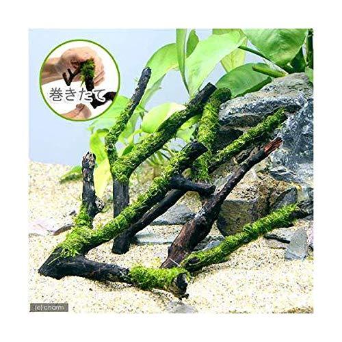 (水草)巻きたて ジャイアント南米ウィローモス 枝状流木 Sサイズ(約10cm〜)(無農薬)(1本) 北海道航空便要保温