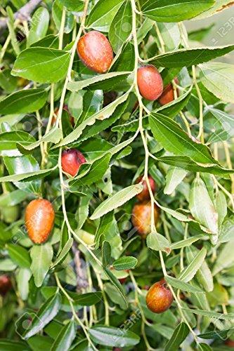 Schöne Ziziphus Zizyphus Jujuba - Chinesisch Datum - seltene tropische Pflanze Baum Samen (5)