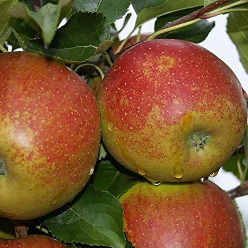 Müllers Grüner Garten Shop Wellant ® Fresco Apfel für Apfelallergiker geeignet Buschbaum 100-120 cm im 7,5 Liter Topf auf M7
