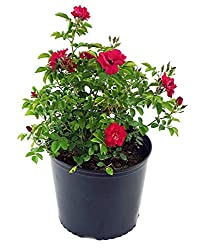 Red potted Climbing rose live plant sold on Amazon