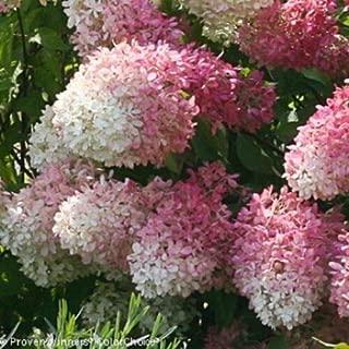 Hydrangea PANICULATA 'SMNHPRZEP - ZINFIN Doll' - -Starter Plant #dwtn0024