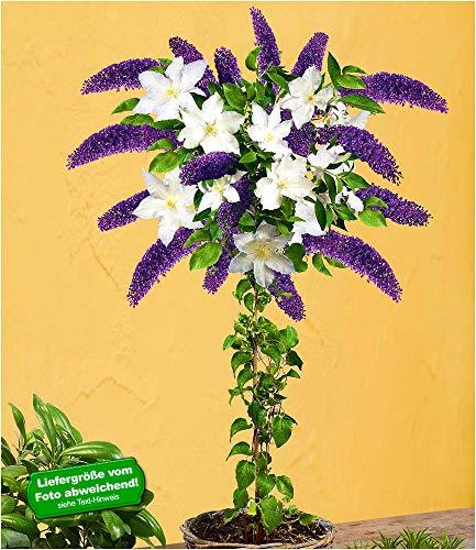 BALDUR-Garten Buddleia-Stämmchen mit Clematis, 1 Pflanze Sommerfliederstämmchen und 1 Pflanze Klematis winterhart
