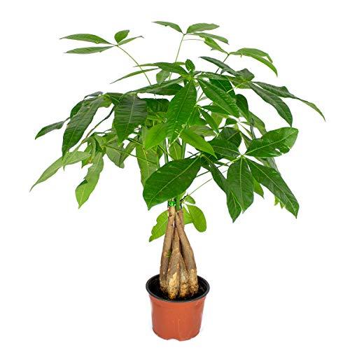 Pachira Aquatica | Geldbaum pro Stück - Zimmerpflanze im Aufzuchttopf cm12 cm - ↕30 cm