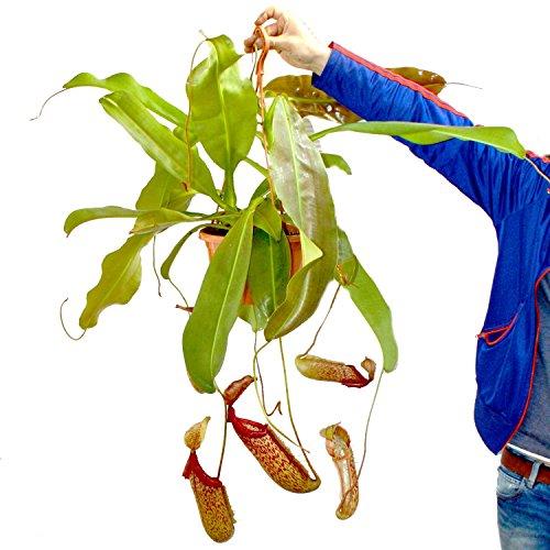 Nepenthes maxima - Riesen-Kannenpflanze - Ampel