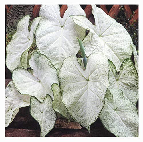 Fancy Leaf Caladium - June Bride - Large Size Root - Zones 9-11