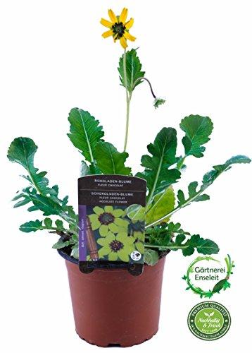 Gelbe Schokoladenblume (Berlandiera Lyriata),Schoko Daisy Schokoladen Blume, Duft Kräuter Pflanze