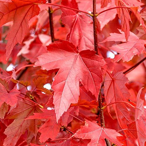 Acer freemanii Jeffersred   Freeman Maple   Deciduous Ornamental Tree   5-6ft