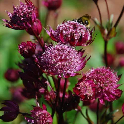 100 / Graines Pincushion Flower Bag Astrantia Seeds Garden Bonsai Seed Ruby Nuage de Hattie Paquet professionnel