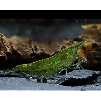 Green Jade Garnele Neocaridina davidi var