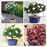 Bulbi Reale Clivia, clivia pianta, Fiore Bulbi, (Non Seeds Clivia), perenni Fiori in Vaso pianta bulbosa Root - 20 pz 12