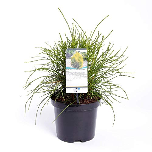 Lebensbaum - Platycladus orientalis Franky Boy - Gesamthöhe 40-50 cm - 3 Liter Topf